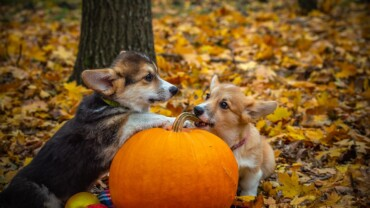 Does Hip Dysplasia Affect  our Corgi Puppies?