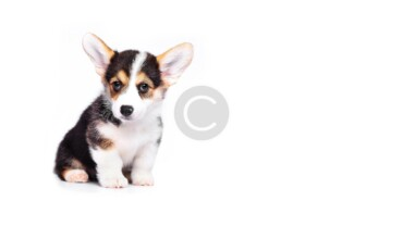 Is Rescuing  Corgi  Puppies Right For Me?