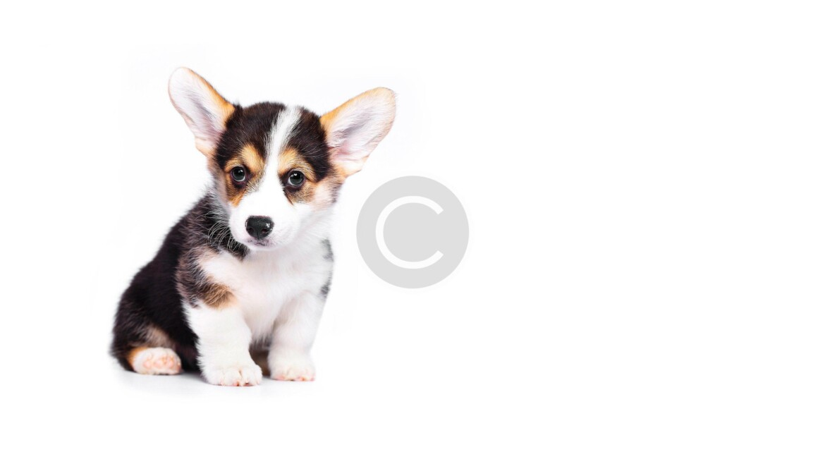 Best Summer Activities for Corgi Dog Owners